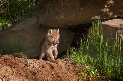 Welpe Grey Wolfs (Canis Lupus) taucht von Den Yawning auf Lizenzfreie Stockfotos