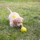 Welpe Labrador Stockfoto