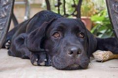 Welpe Labrador Lizenzfreie Stockbilder