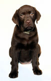 Welpe labrador retriever Stockfotos