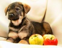 Welpe mit Äpfeln Stockbild