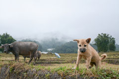 Welpe mit Büffel auf dem Reisterrassengebiet in Mae Klang Luang, Chiang Mai, Thailand Lizenzfreies Stockfoto