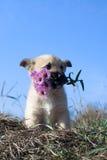 Welpe mit Blumen im Mund Stockbild