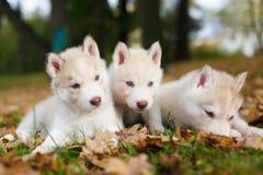 Welpe mit drei Schlittenhunden Lizenzfreie Stockfotos