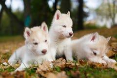 Welpe mit drei Schlittenhunden Lizenzfreie Stockbilder