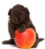 Welpe mit einem Apfel lizenzfreies stockfoto