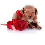 Welpe mit einem roten Bogen und eine Rose Lizenzfreie Stockbilder