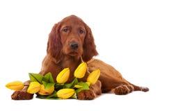 Welpe mit gelben Tulpen Lizenzfreies Stockfoto