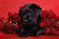 Welpe mit Rosen stockbilder
