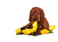 Welpe mit Tulpen Stockfotos