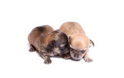 Welpe mit zwei Chihuahua Stockbilder