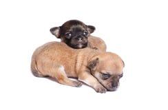 Welpe mit zwei Chihuahua Lizenzfreies Stockfoto