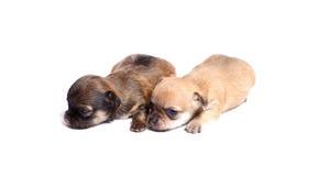 Welpe mit zwei Chihuahua Lizenzfreie Stockbilder