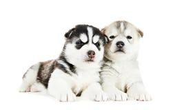 Welpe mit zwei sibirischen Huskys getrennt Stockbild