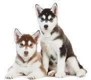 Welpe mit zwei sibirischen Huskys getrennt Lizenzfreies Stockfoto