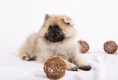 Welpe Pomeranian liegt mit Bällen Lizenzfreie Stockfotografie