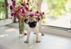 Welpe Pug Stockfotos