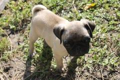 Welpe Pug Lizenzfreies Stockfoto