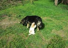 Welpe saugt den Hund auf dem Rasen Lizenzfreie Stockbilder