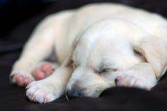 Welpe Schlafens Labrador stockfoto