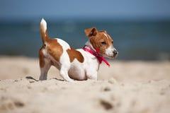 Welpe Terriers des Jack-Russel Lizenzfreie Stockbilder