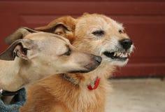 Welpe trifft alten Hund Stockfotos
