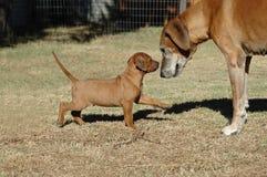 Welpe und alter Hund Stockfoto
