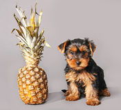 Welpe und Ananas lizenzfreie stockfotografie
