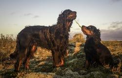 Welpe und Mama-Gordon-Setzer Stockfotografie