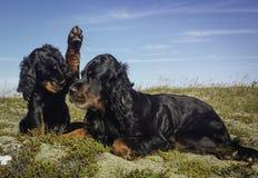 Welpe und Mama-Gordon-Setzer Stockfotos