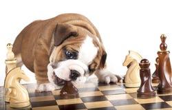Welpe und Schachstück Lizenzfreie Stockfotos