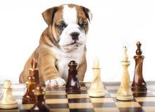 Welpe und Schachstück Stockfoto