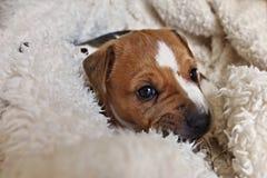 Welpe von Jack Russell Terrier Lizenzfreie Stockbilder