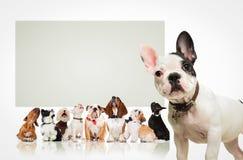 Welpe vor vielen Hunden, die oben Anschlagtafel betrachten Stockfotografie
