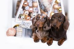 Welpe, Weihnachtshundedachshund neues Jahr lizenzfreie stockfotos