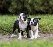Welpen-Boston-Terrier Lizenzfreie Stockfotos