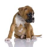Welpen-Boxer, 2 Monate alte, sitzend Lizenzfreies Stockbild