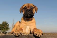 Welpen-Bulldogge Lizenzfreie Stockfotos