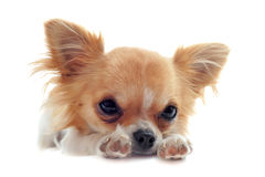 Welpen-Chihuahua ermüdet Stockfoto