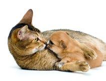 Welpen-Chihuahua mit einer Katze Lizenzfreies Stockfoto