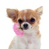 Welpen-Chihuahua und -blume lizenzfreie stockfotografie