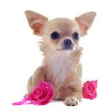 Welpen-Chihuahua und -blume lizenzfreies stockbild