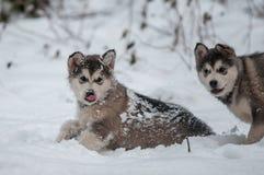 Welpen der alaskischen Malamutes, die in de snow spielen Lizenzfreie Stockfotografie