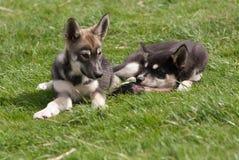 Welpen des alaskischen Schlittenhunds lizenzfreies stockbild