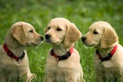 Welpen des goldenen Apportierhunds Stockfotografie