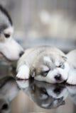 Welpen des sibirischen Huskys, die mit Hintergrund schlafen Lizenzfreies Stockfoto