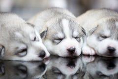 Welpen des sibirischen Huskys, die mit Hintergrund schlafen Lizenzfreie Stockfotos