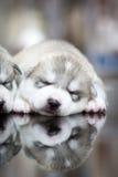 Welpen des sibirischen Huskys, die mit Hintergrund schlafen Stockbilder