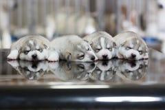 Welpen des sibirischen Huskys, die mit Hintergrund schlafen Stockfotografie