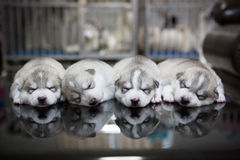 Welpen des sibirischen Huskys, die mit Hintergrund schlafen Stockfotos